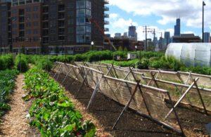 Urban Farming Grants New Crops Chicago Urban Farm